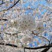 小伝馬町の桜